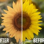 Sunflower Fields LUT